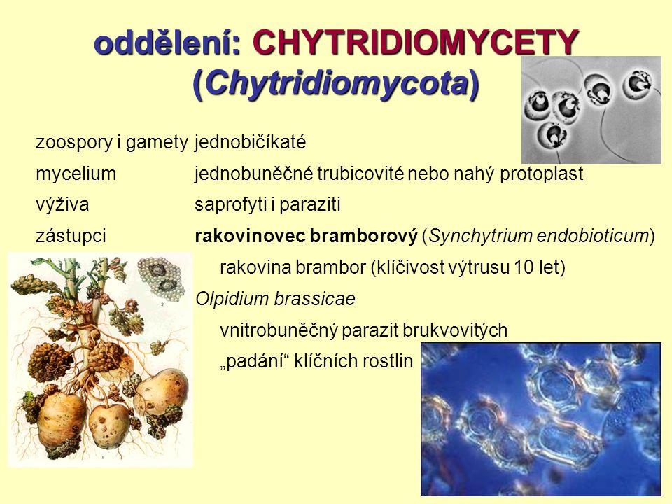 oddělení: CHYTRIDIOMYCETY (Chytridiomycota)