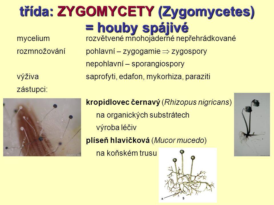 třída: ZYGOMYCETY (Zygomycetes) = houby spájivé