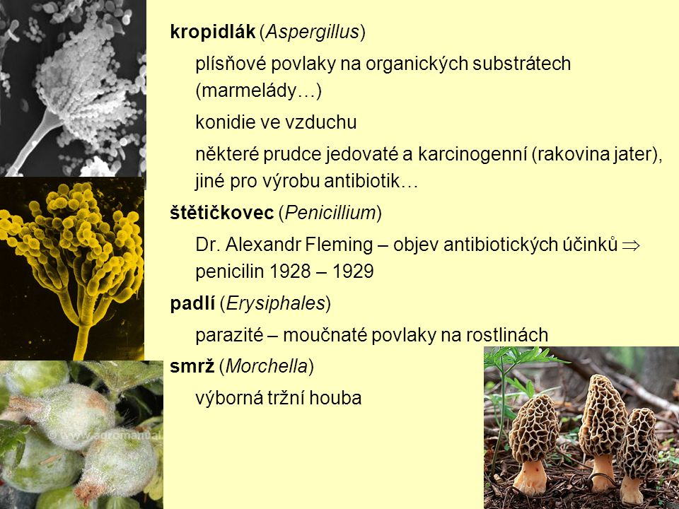 kropidlák (Aspergillus)