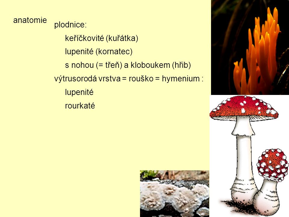 anatomie plodnice: keříčkovité (kuřátka) lupenité (kornatec) s nohou (= třeň) a kloboukem (hřib)