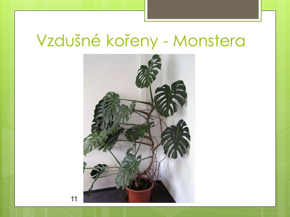 Vzdušné kořeny - Monstera
