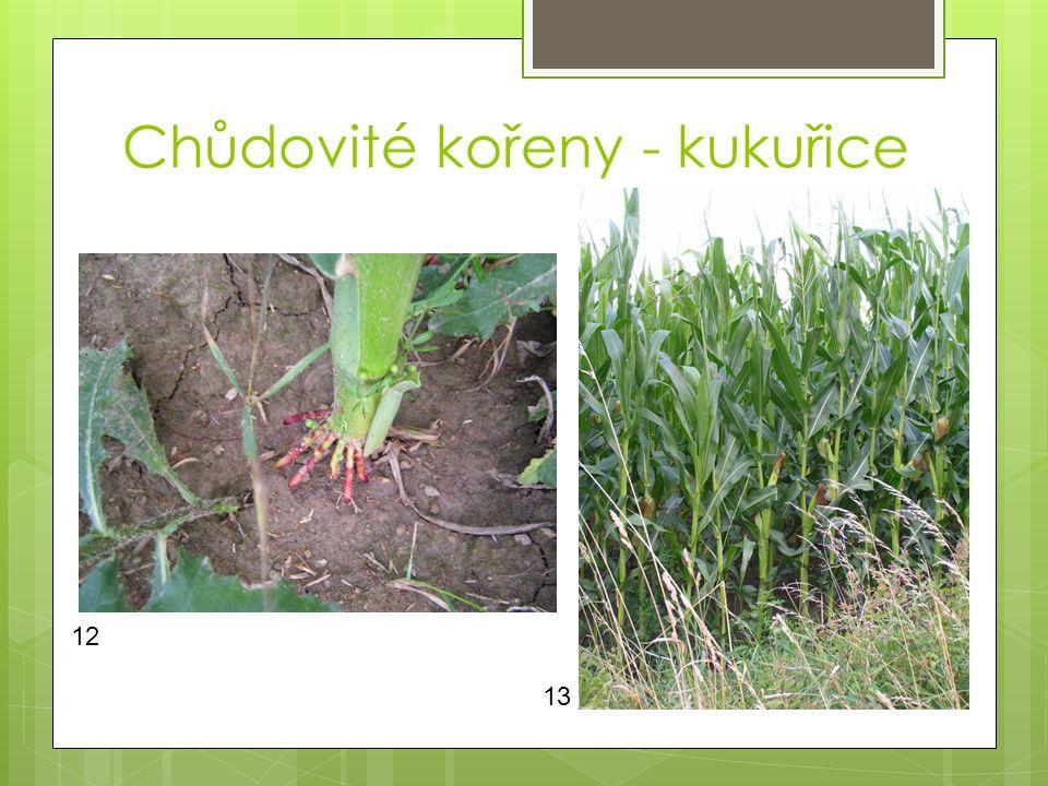 Chůdovité kořeny - kukuřice