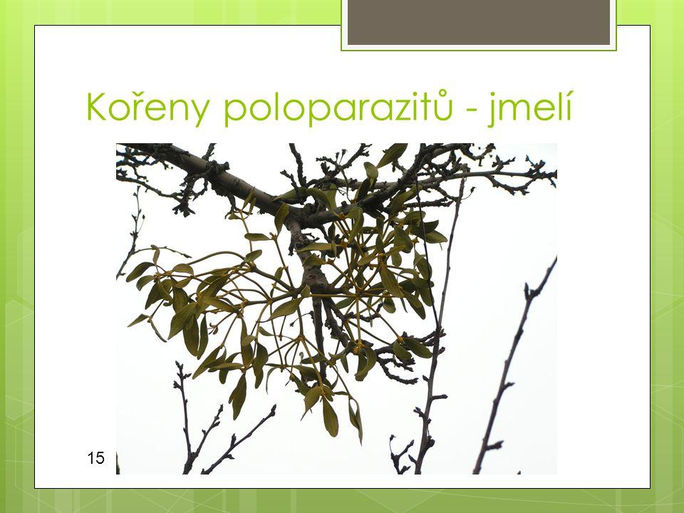 Kořeny poloparazitů - jmelí
