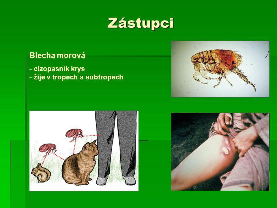 Zástupci Blecha morová cizopasník krys žije v tropech a subtropech