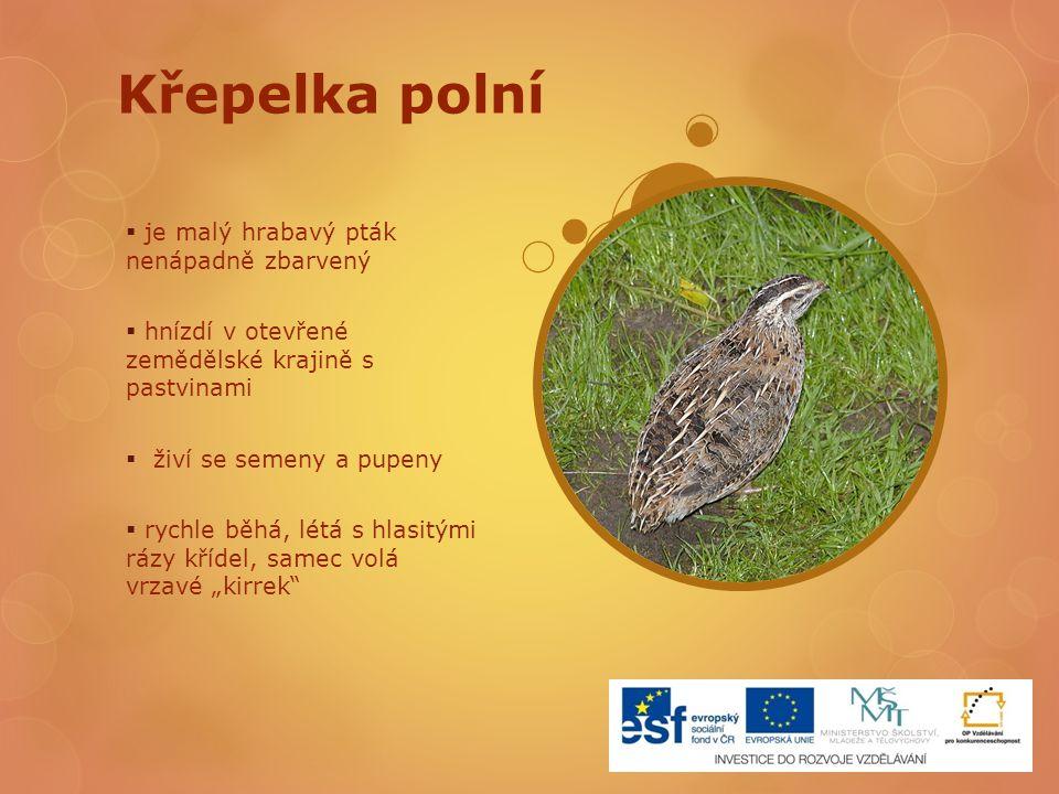 Křepelka polní je malý hrabavý pták nenápadně zbarvený