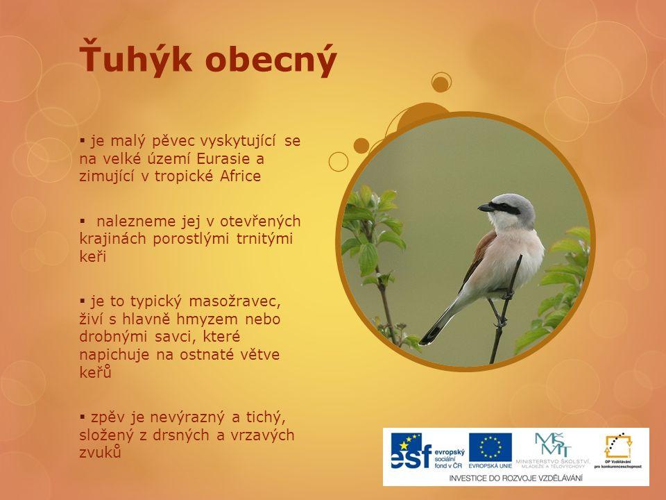 Ťuhýk obecný je malý pěvec vyskytující se na velké území Eurasie a zimující v tropické Africe.