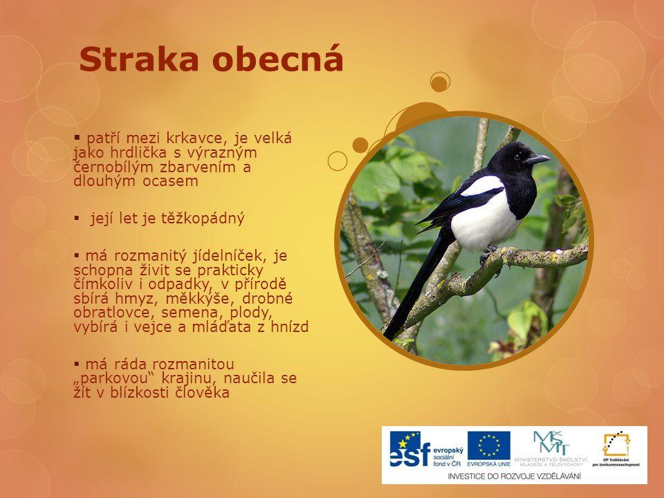Straka obecná patří mezi krkavce, je velká jako hrdlička s výrazným černobílým zbarvením a dlouhým ocasem.