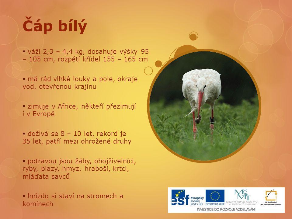Čáp bílý váží 2,3 – 4,4 kg, dosahuje výšky 95 – 105 cm, rozpětí křídel 155 – 165 cm. má rád vlhké louky a pole, okraje vod, otevřenou krajinu.