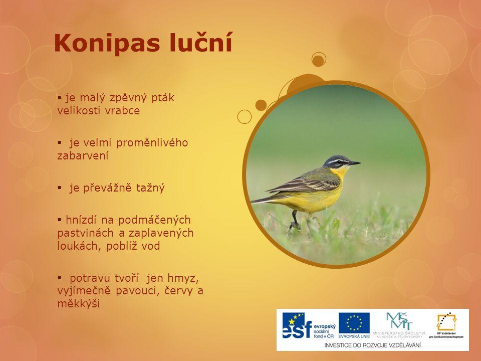Konipas luční je malý zpěvný pták velikosti vrabce