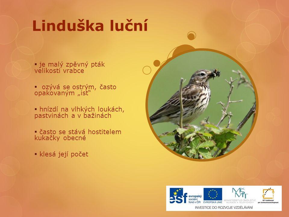 Linduška luční je malý zpěvný pták velikosti vrabce