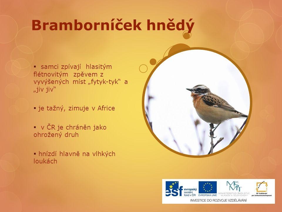 """Bramborníček hnědý samci zpívají hlasitým flétnovitým zpěvem z vyvýšených míst """"fytyk-tyk a """"jiv jiv"""