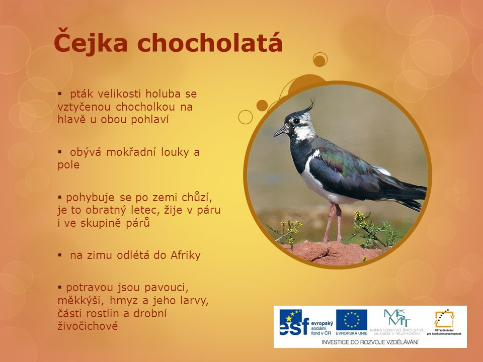 Čejka chocholatá pták velikosti holuba se vztyčenou chocholkou na hlavě u obou pohlaví. obývá mokřadní louky a pole.