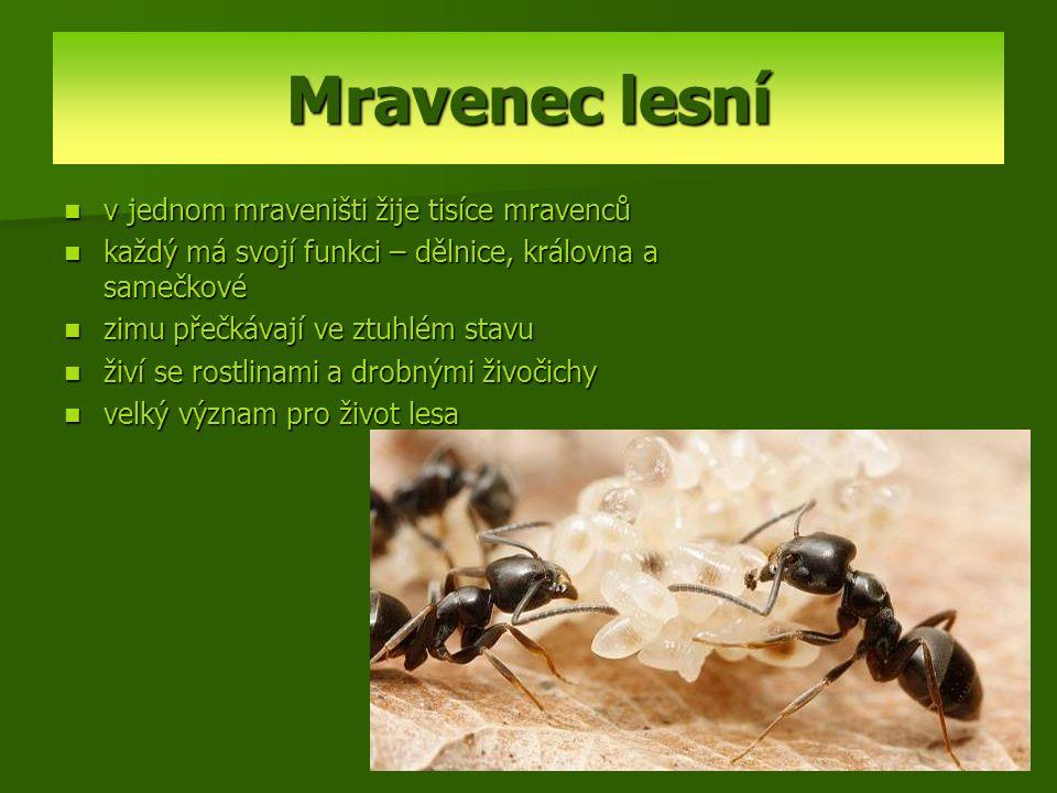 Mravenec lesní v jednom mraveništi žije tisíce mravenců