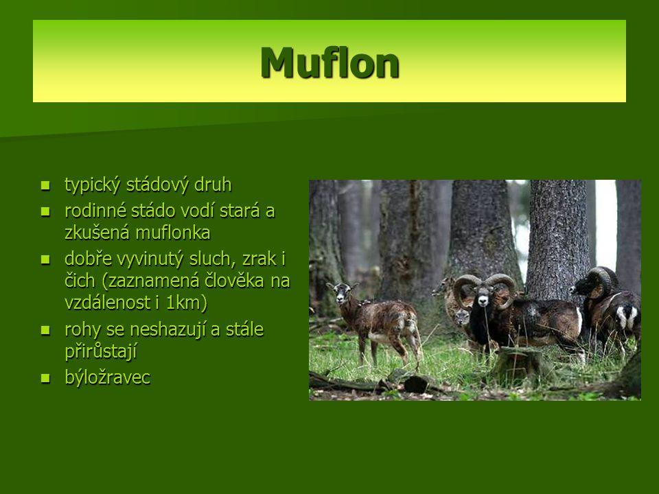 Muflon typický stádový druh