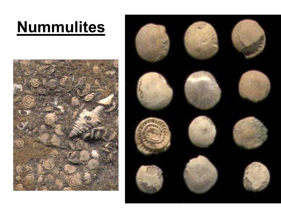 Nummulites