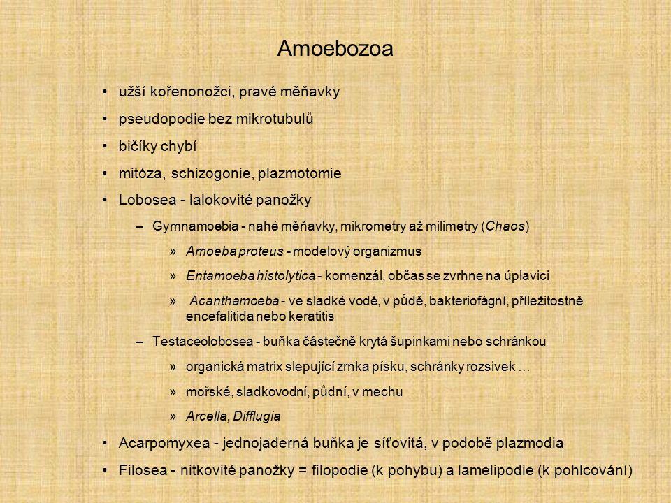 Amoebozoa užší kořenonožci, pravé měňavky pseudopodie bez mikrotubulů