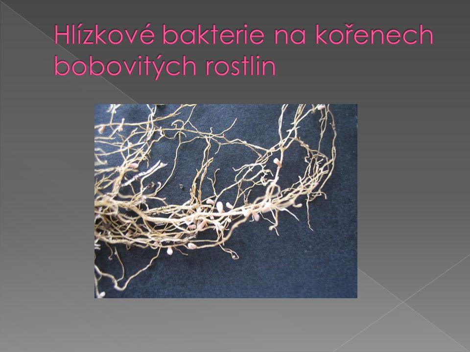 Hlízkové bakterie na kořenech bobovitých rostlin