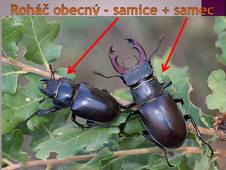 Roháč obecný - samice + samec
