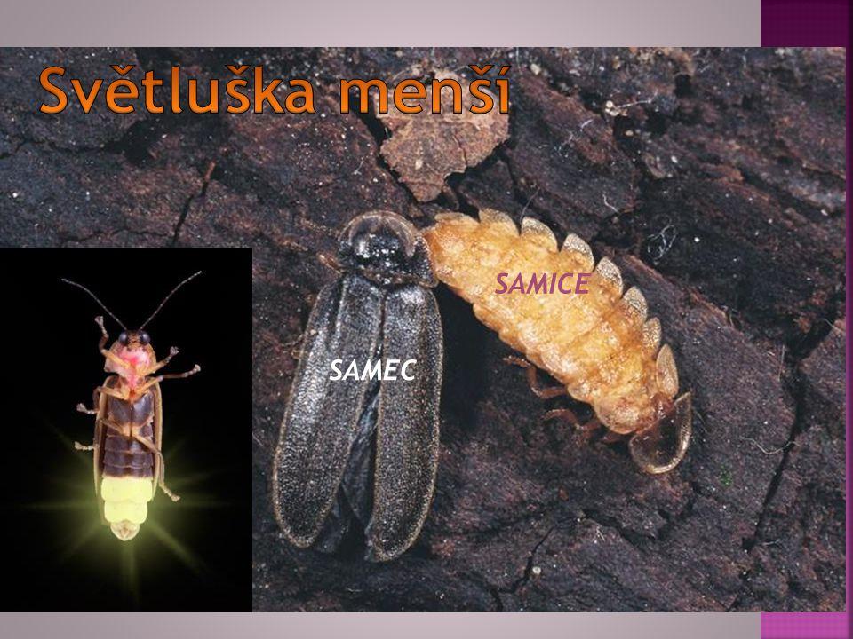 Světluška menší SAMICE SAMEC