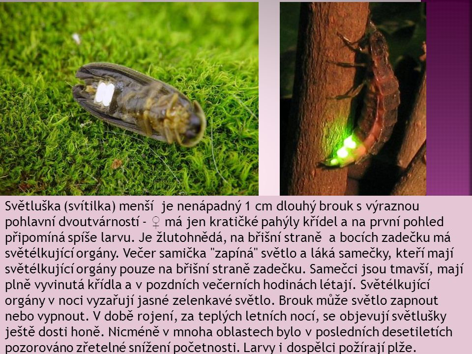 Světluška (svítilka) menší je nenápadný 1 cm dlouhý brouk s výraznou pohlavní dvoutvárností - ♀ má jen kratičké pahýly křídel a na první pohled připomíná spíše larvu.
