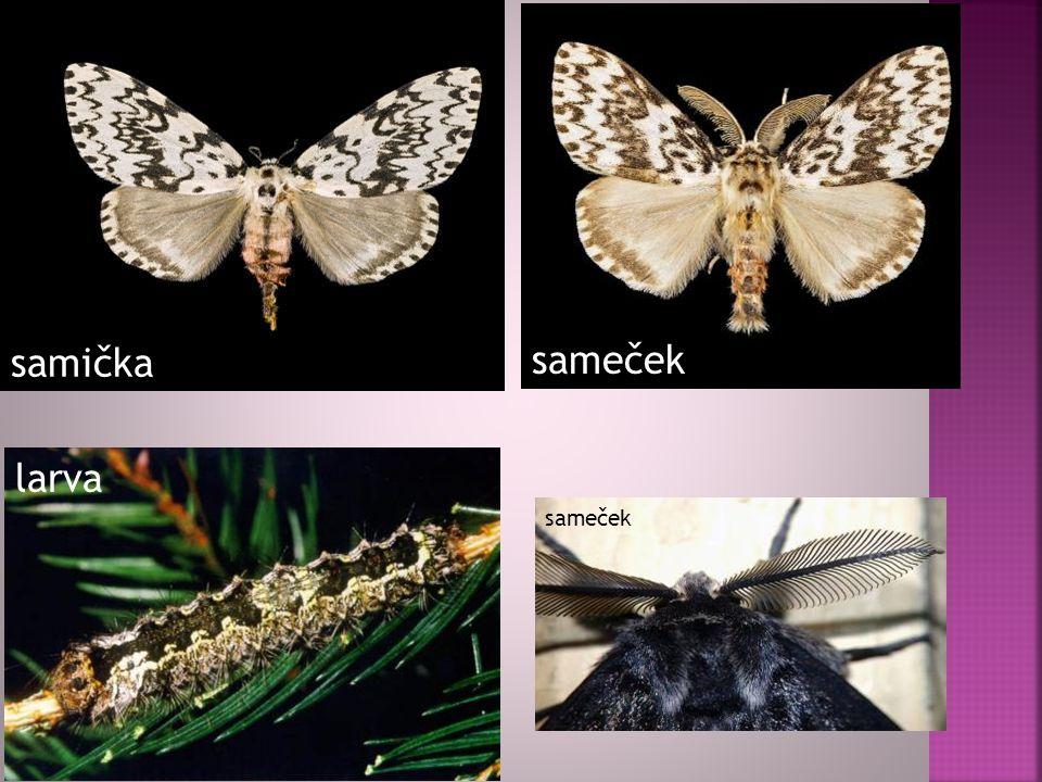 samička sameček larva sameček