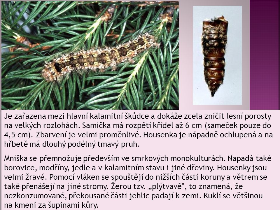 Je zařazena mezi hlavní kalamitní škůdce a dokáže zcela zničit lesní porosty na velkých rozlohách. Samička má rozpětí křídel až 6 cm (sameček pouze do 4,5 cm). Zbarvení je velmi proměnlivé. Housenka je nápadně ochlupená a na hřbetě má dlouhý podélný tmavý pruh.