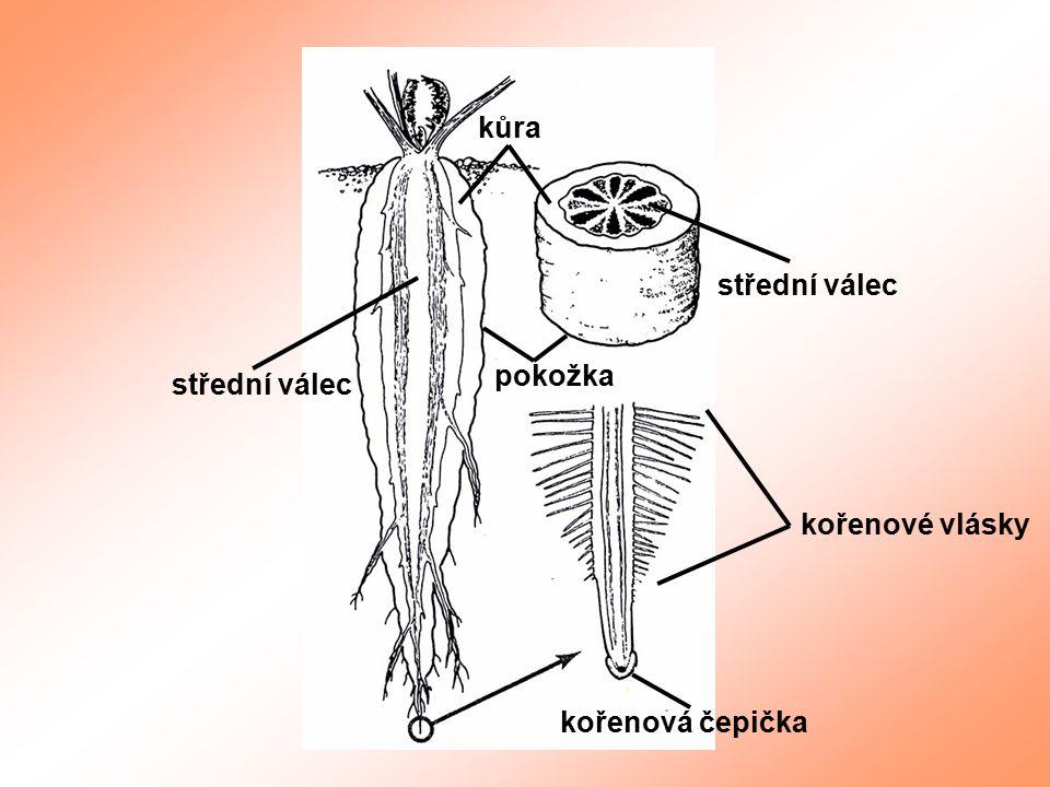 kůra střední válec pokožka střední válec kořenové vlásky kořenová čepička