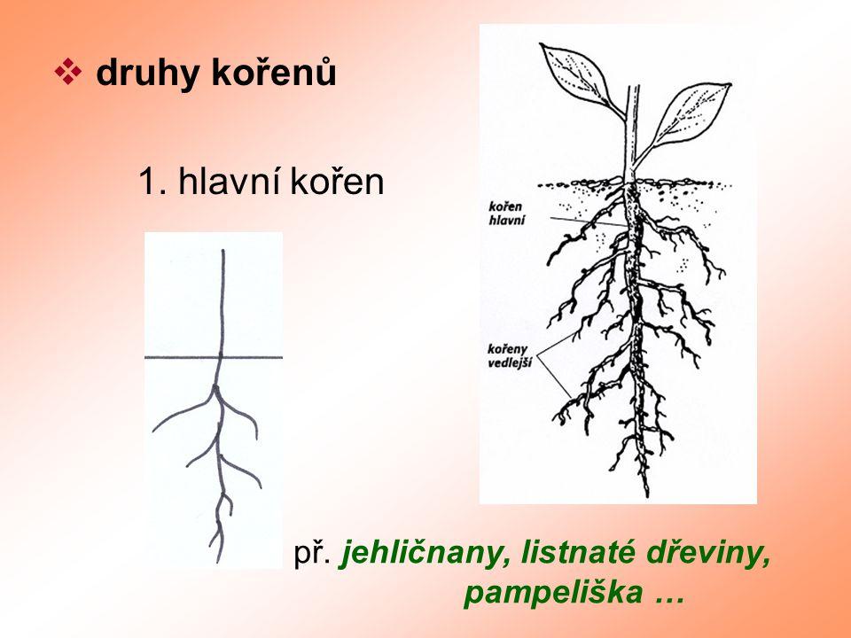 druhy kořenů 1. hlavní kořen