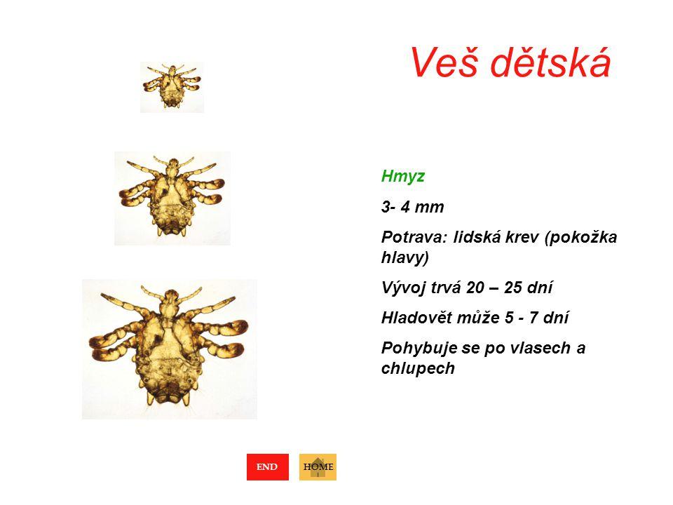 Veš dětská Hmyz 3- 4 mm Potrava: lidská krev (pokožka hlavy)