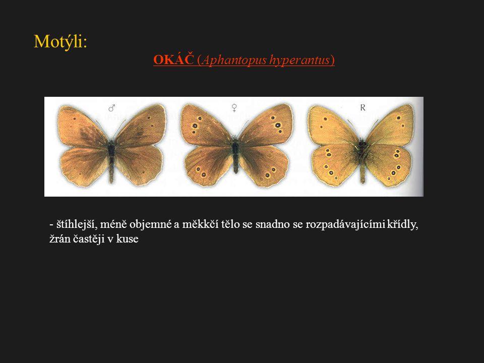 OKÁČ (Aphantopus hyperantus)