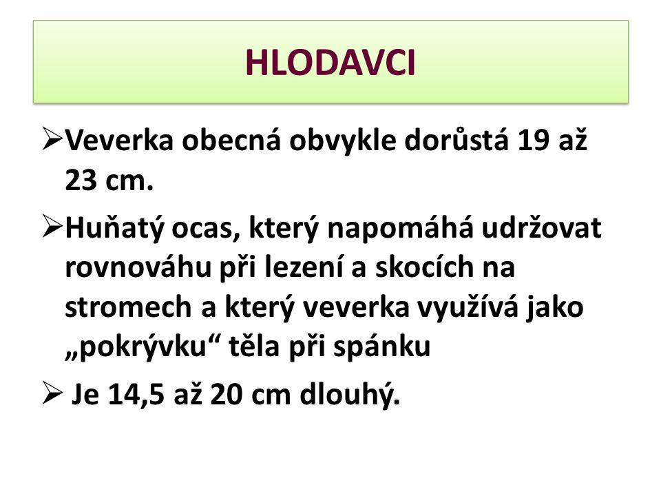 HLODAVCI Veverka obecná obvykle dorůstá 19 až 23 cm.