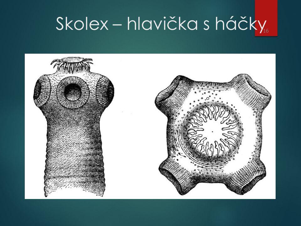 Skolex – hlavička s háčky