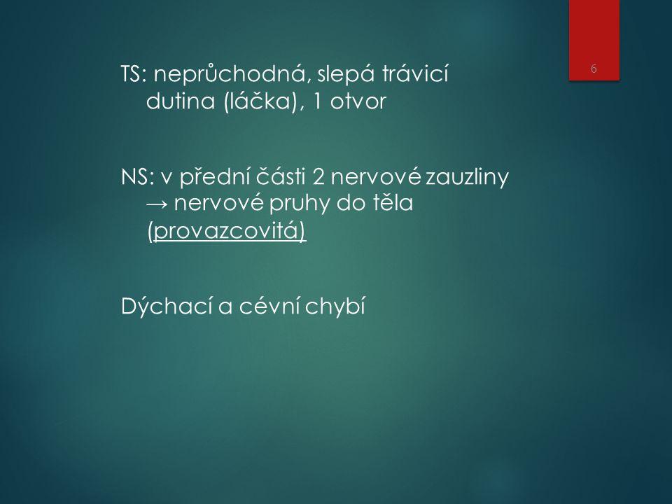TS: neprůchodná, slepá trávicí dutina (láčka), 1 otvor NS: v přední části 2 nervové zauzliny → nervové pruhy do těla (provazcovitá) Dýchací a cévní chybí