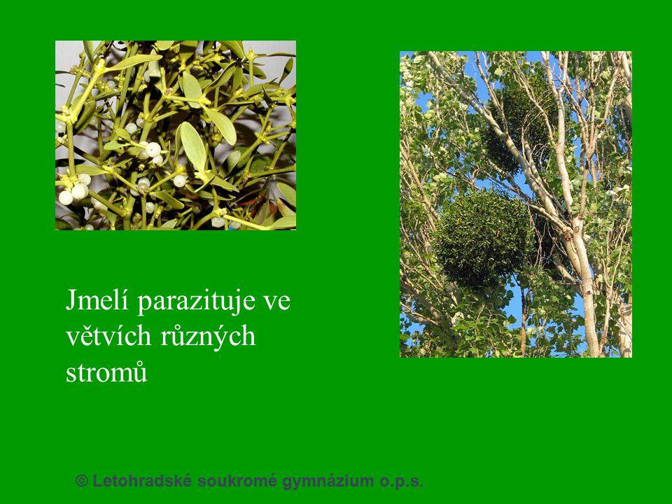 Jmelí parazituje ve větvích různých stromů
