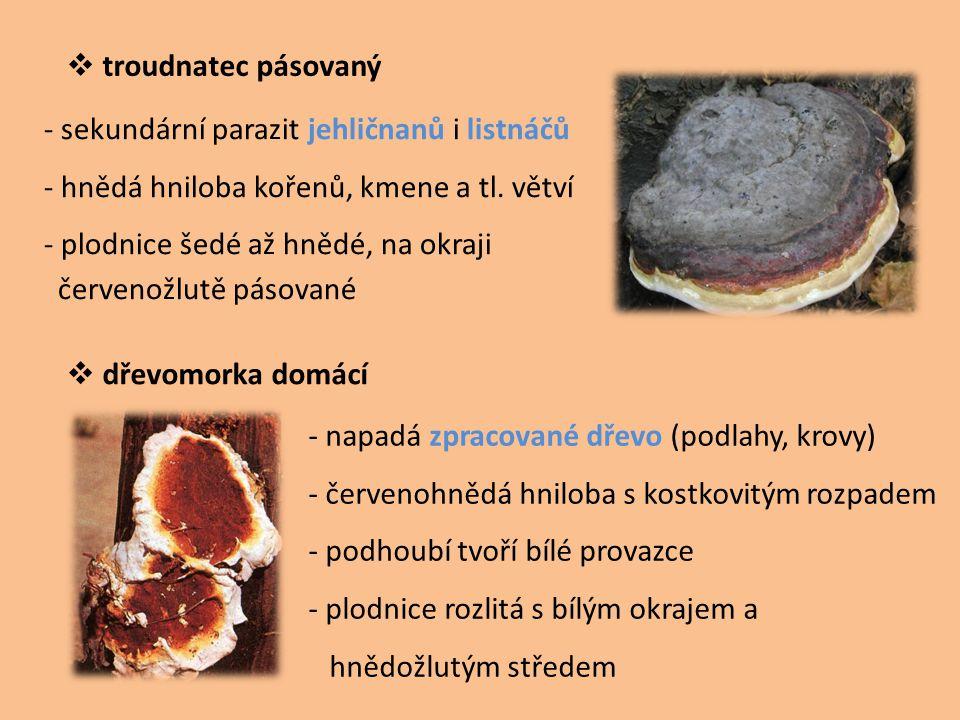 troudnatec pásovaný - sekundární parazit jehličnanů i listnáčů. - hnědá hniloba kořenů, kmene a tl. větví.