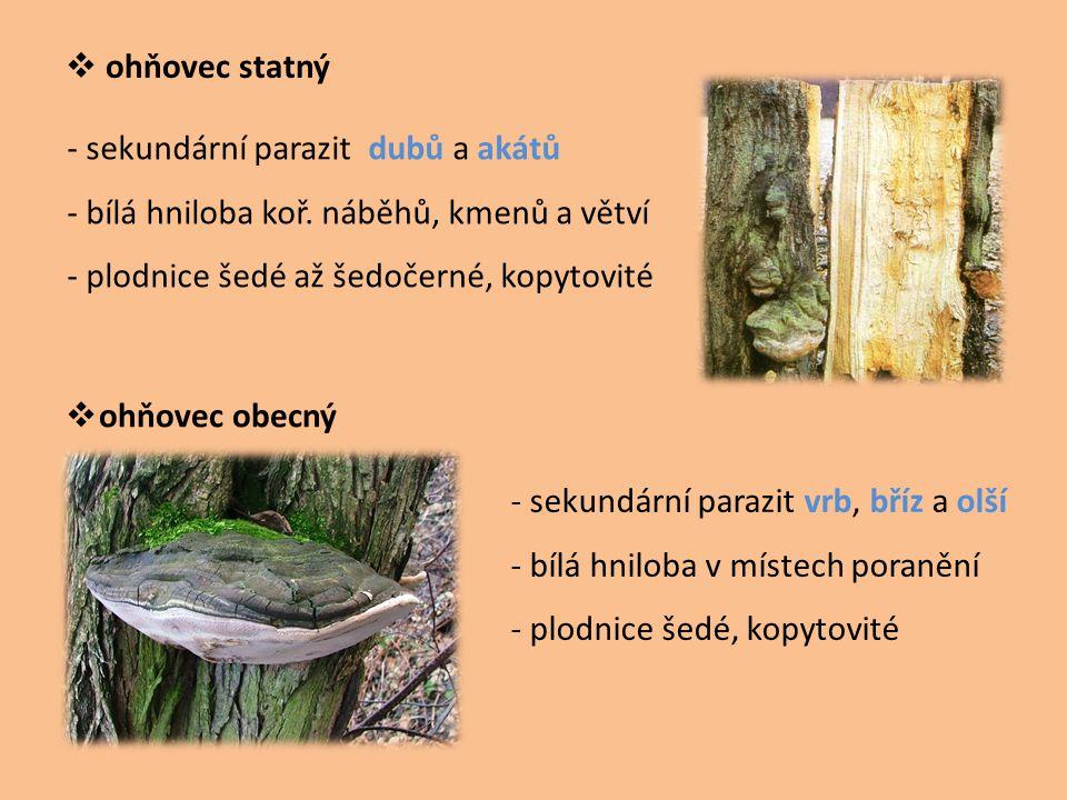 ohňovec statný - sekundární parazit dubů a akátů. - bílá hniloba koř. náběhů, kmenů a větví. - plodnice šedé až šedočerné, kopytovité.