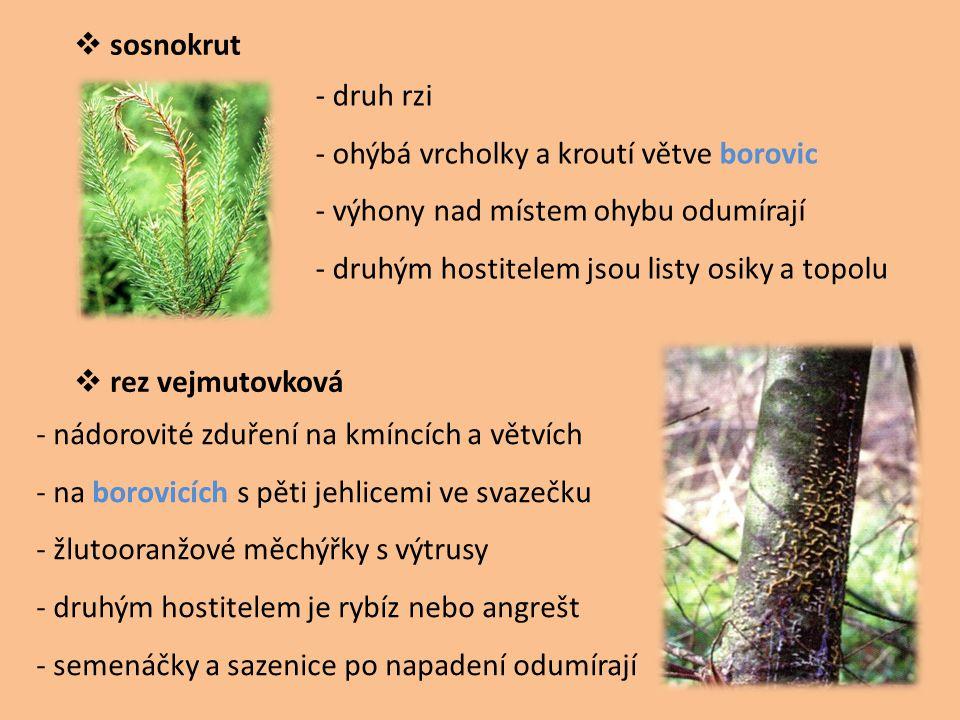 sosnokrut - druh rzi. - ohýbá vrcholky a kroutí větve borovic. - výhony nad místem ohybu odumírají.