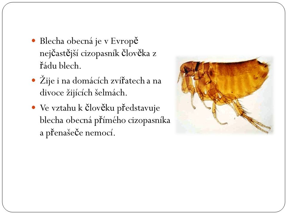 Blecha obecná je v Evropě nejčastější cizopasník člověka z řádu blech.