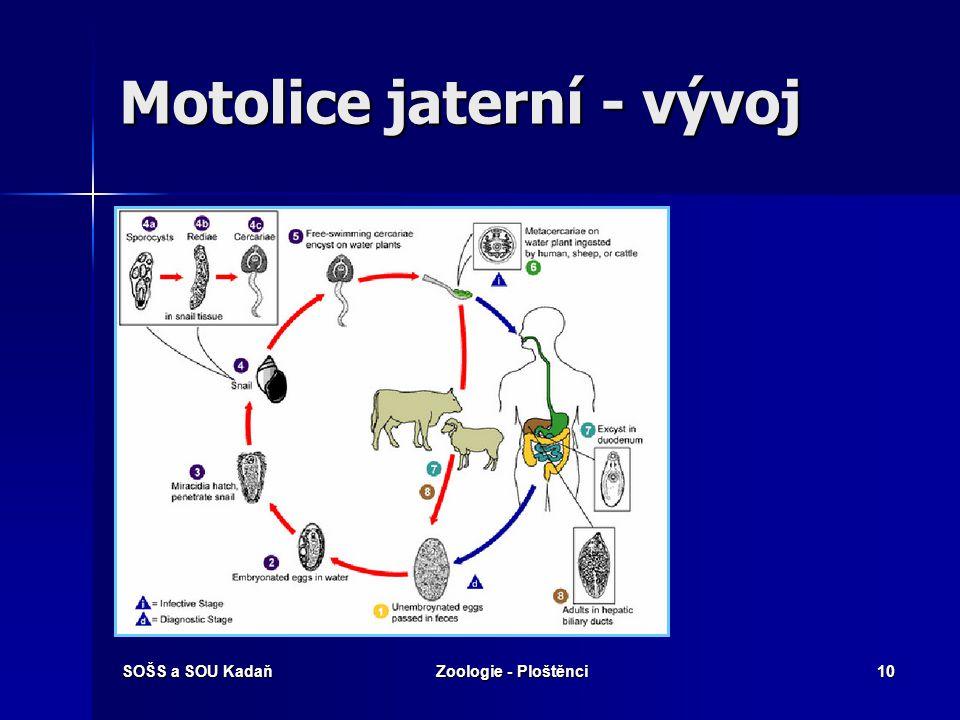 Motolice jaterní - vývoj
