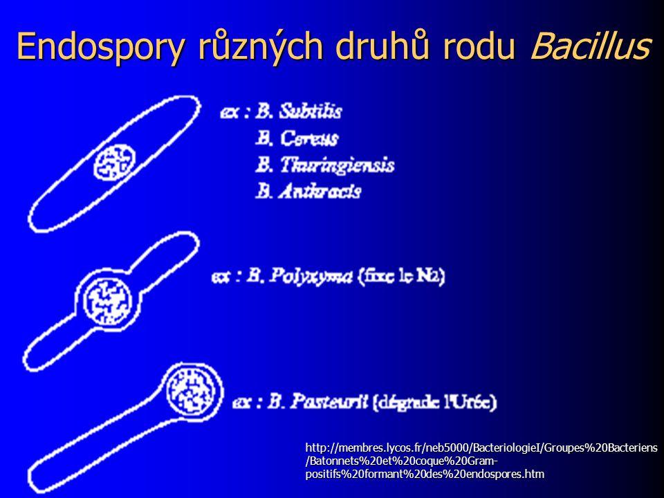 Endospory různých druhů rodu Bacillus