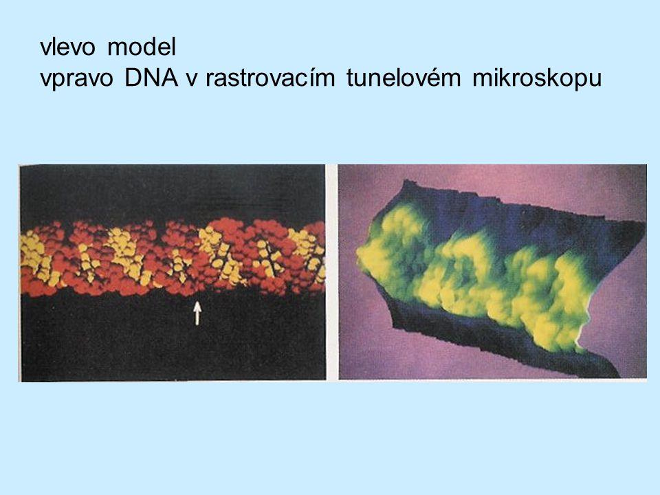 vlevo model vpravo DNA v rastrovacím tunelovém mikroskopu