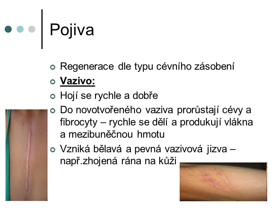 Pojiva Regenerace dle typu cévního zásobení Vazivo:
