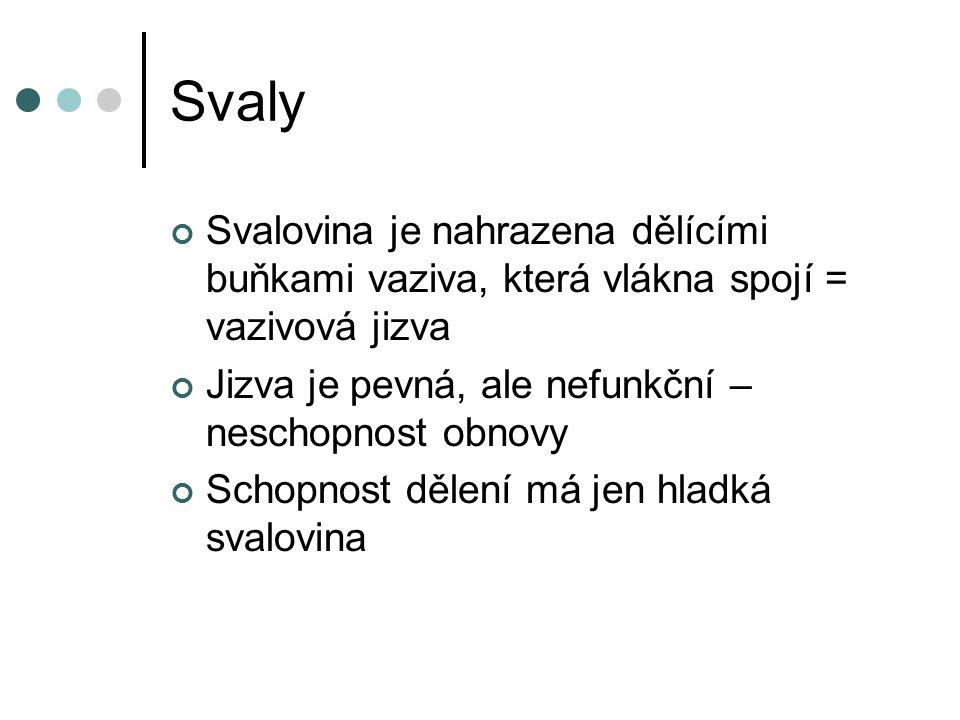 Svaly Svalovina je nahrazena dělícími buňkami vaziva, která vlákna spojí = vazivová jizva. Jizva je pevná, ale nefunkční – neschopnost obnovy.