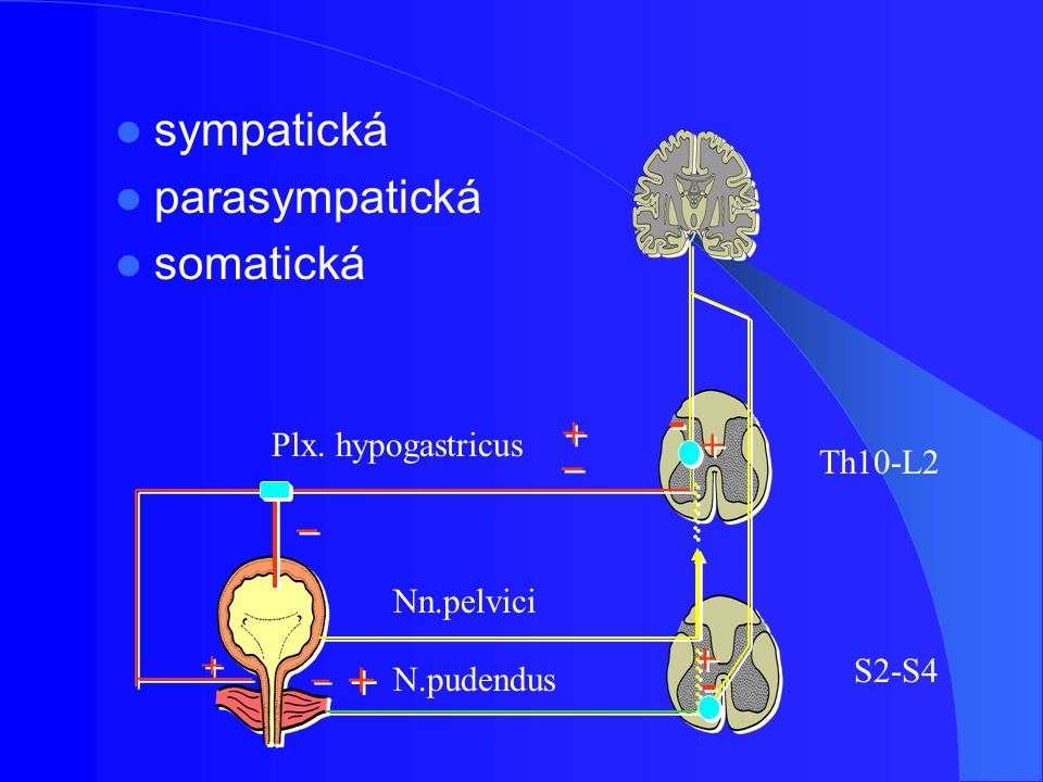 sympatická parasympatická somatická - + _ Plx. hypogastricus Th10-L2