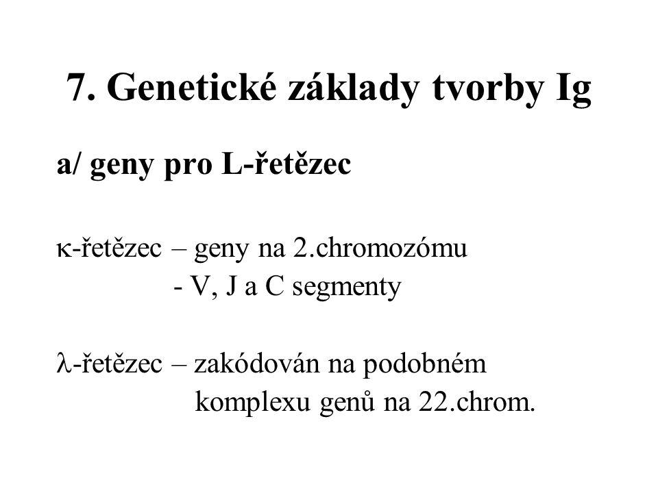 7. Genetické základy tvorby Ig