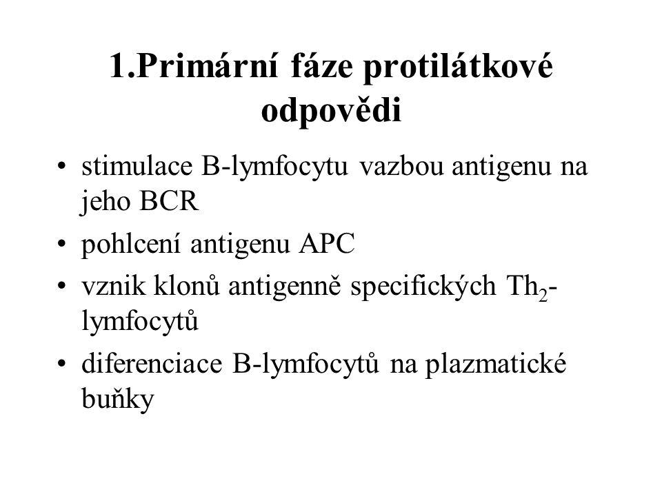 1.Primární fáze protilátkové odpovědi