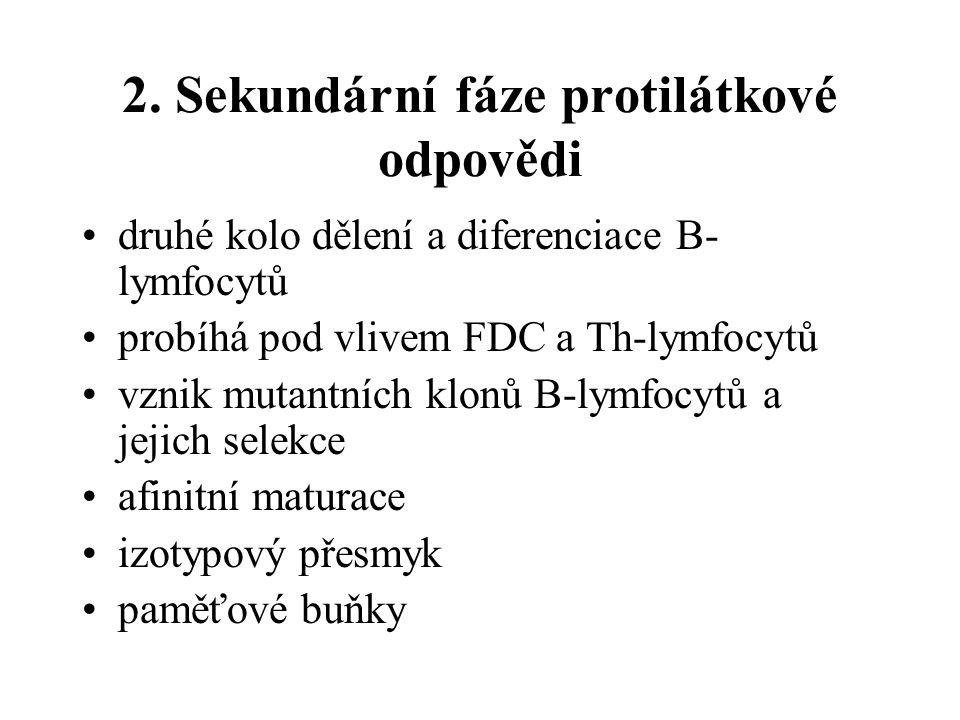 2. Sekundární fáze protilátkové odpovědi