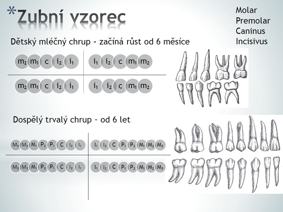 Zubní vzorec Molar Premolar Caninus Incisivus