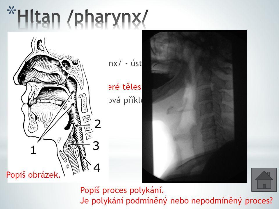 Hltan /pharynx/ 3 části: