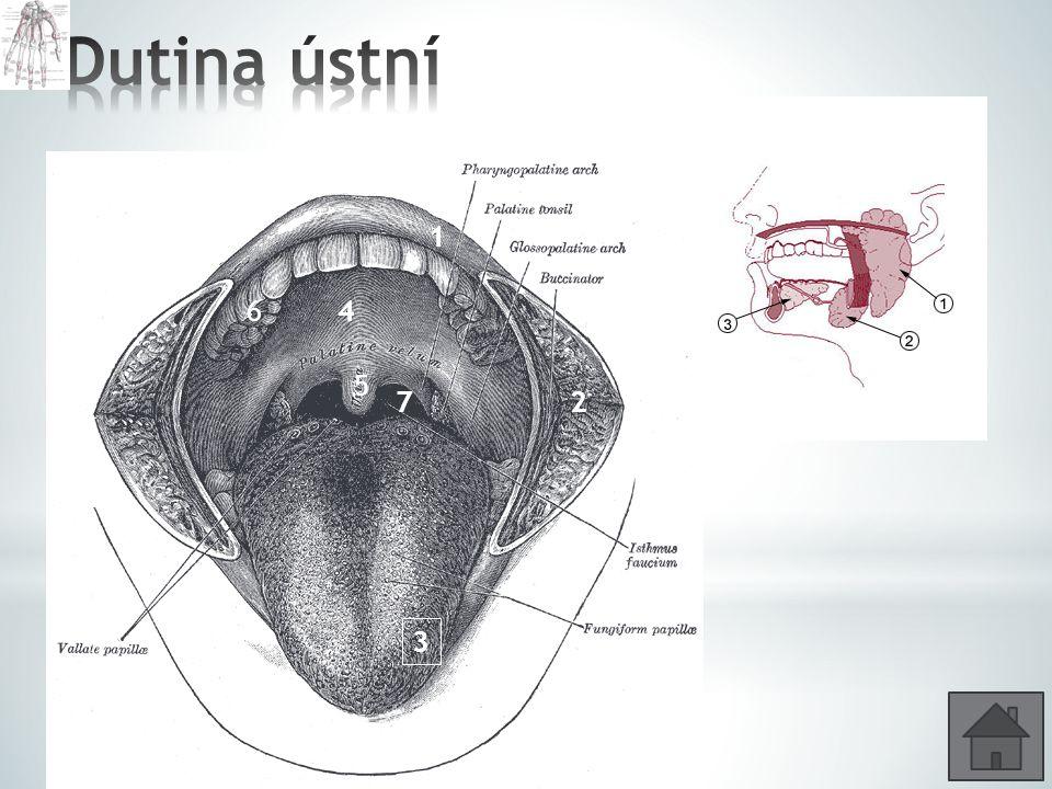Dutina ústní Jaké jsou základní funkce ústní dutiny